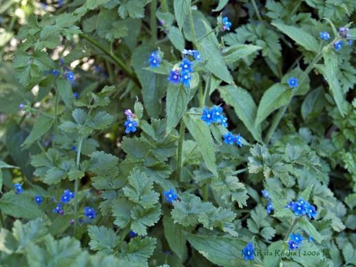 Pentaglottis sempervirens L.Vila Franca11-04-2006(124RED).ass.jpg
